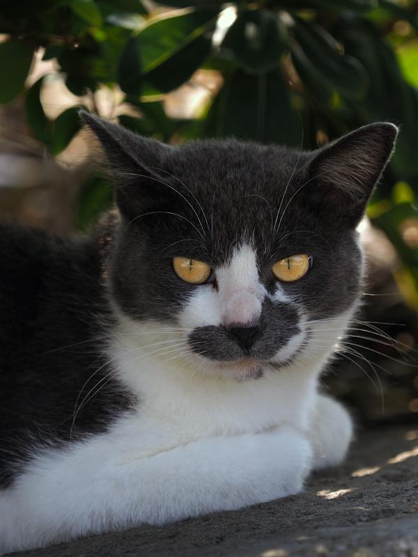 今週のBOSS猫JAPANは「ヒゲBOSS」