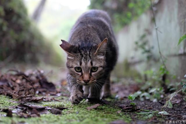 写真家あおいとり_歩く猫たち1
