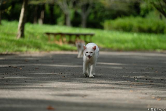 写真家あおいとり_歩く猫たち3