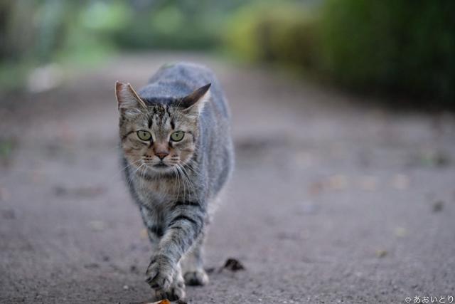 写真家あおいとり_歩く猫たち5