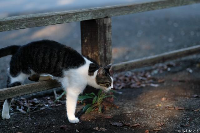 写真家あおいとり_歩く猫たち6