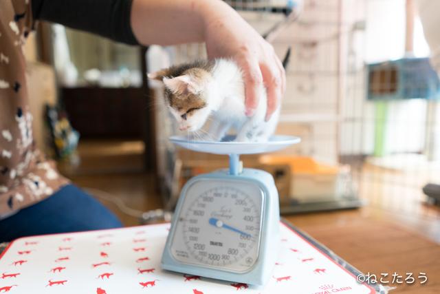 ねこたろう_仔猫の体重測定4