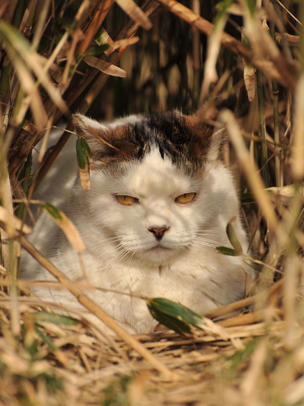 ボス猫JAPAN_巣籠もりBOSS