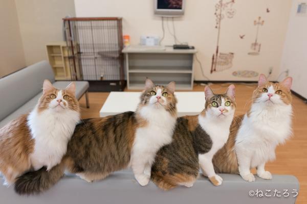 猫をソファーの背に誘導すると、一列にならんで可愛いのです。1
