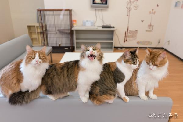 猫をソファーの背に誘導すると、一列にならんで可愛いのです。2