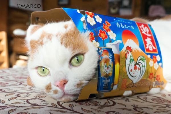 実家の猫「メイ」が入っているのは、プレモル6本パックのお正月バージョン。