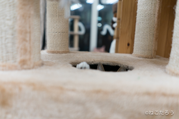 紅ちゃんは、キャットタワーのボックスの穴から出たり入ったりするのが好きなようです。2