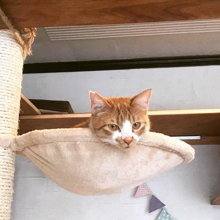 #小鉄 #子猫 #茶白 #茶白猫 #里親募集